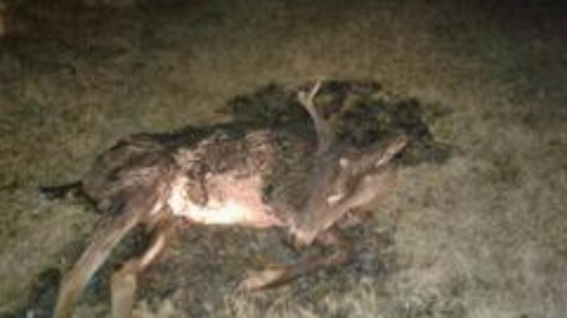 Deer Found Alive After Being Struck by Car, Purposely Set on Fire