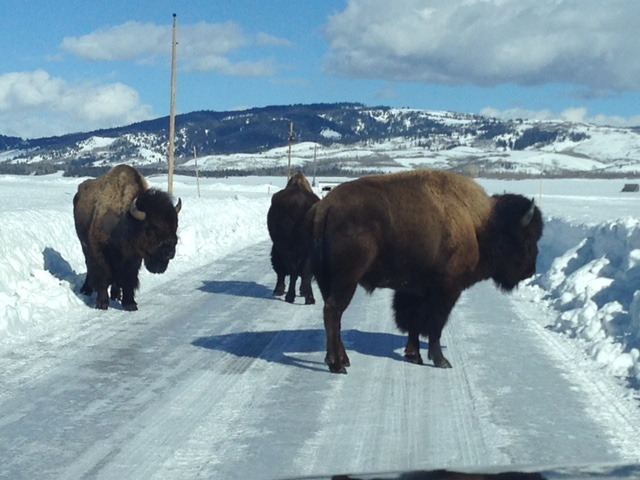 Vehicle Collisions with Bison a Growing Concern in Grand Teton National Park