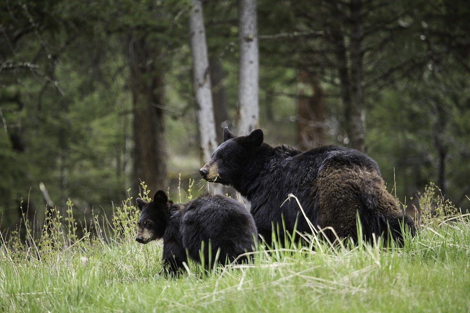 Southern Michigan's Bear Population is Booming