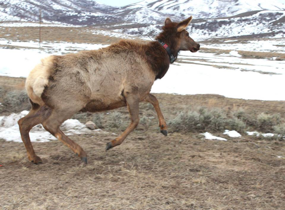 Wyoming Officials Plan to Capture and Collar 52 Elk
