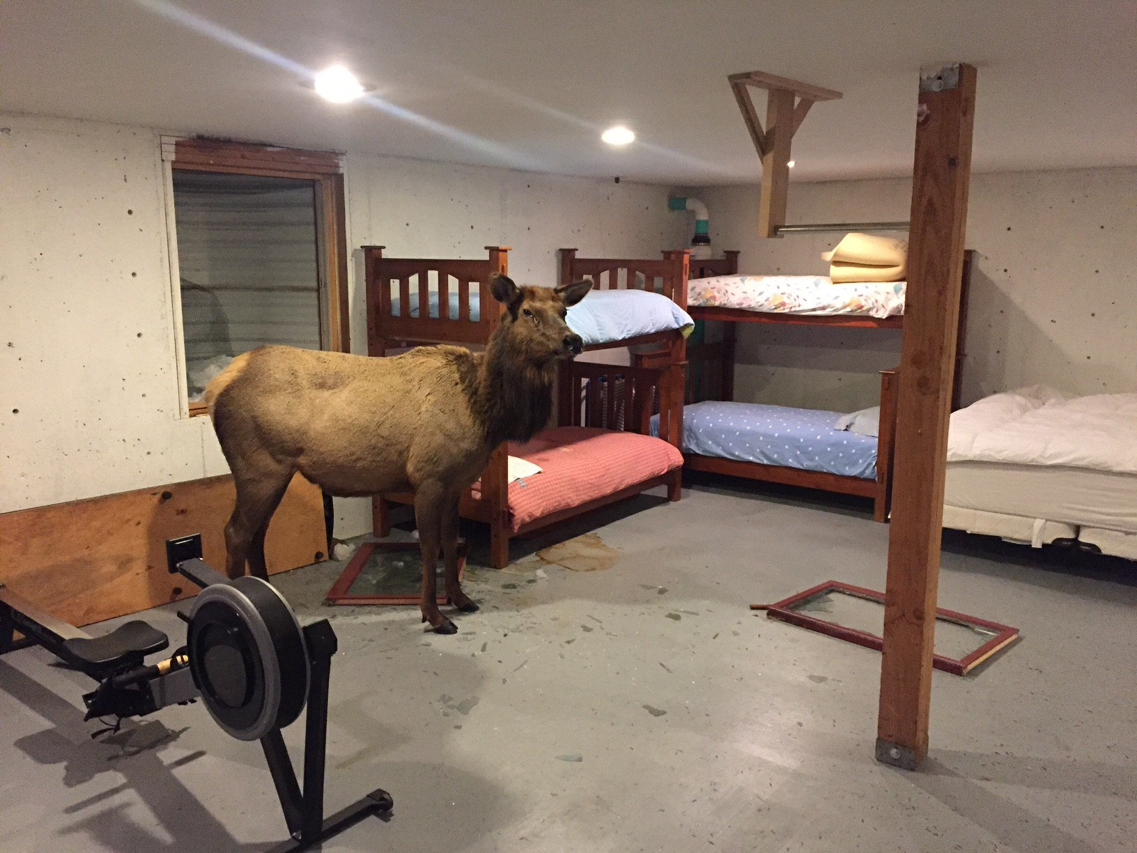 First, a Moose and Now an Elk Has Fallen into an Idaho Residential Basement