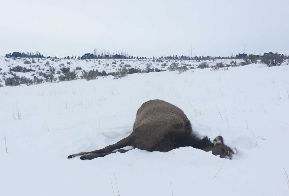 Toxic Plant in Idaho Claims Eight More Elk