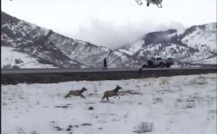 Elk Herd Closes Utah Freeway