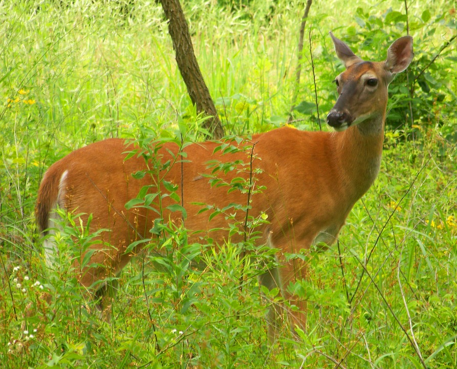 Another Captive Deer in Pennsylvania Tests Positive for CWD