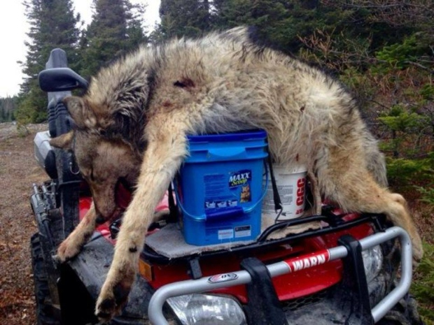 wolf-coyote-hybrid-on-four-wheeler