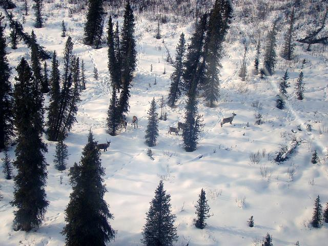 British Columbia Allocates $27 Million to Caribou Recovery