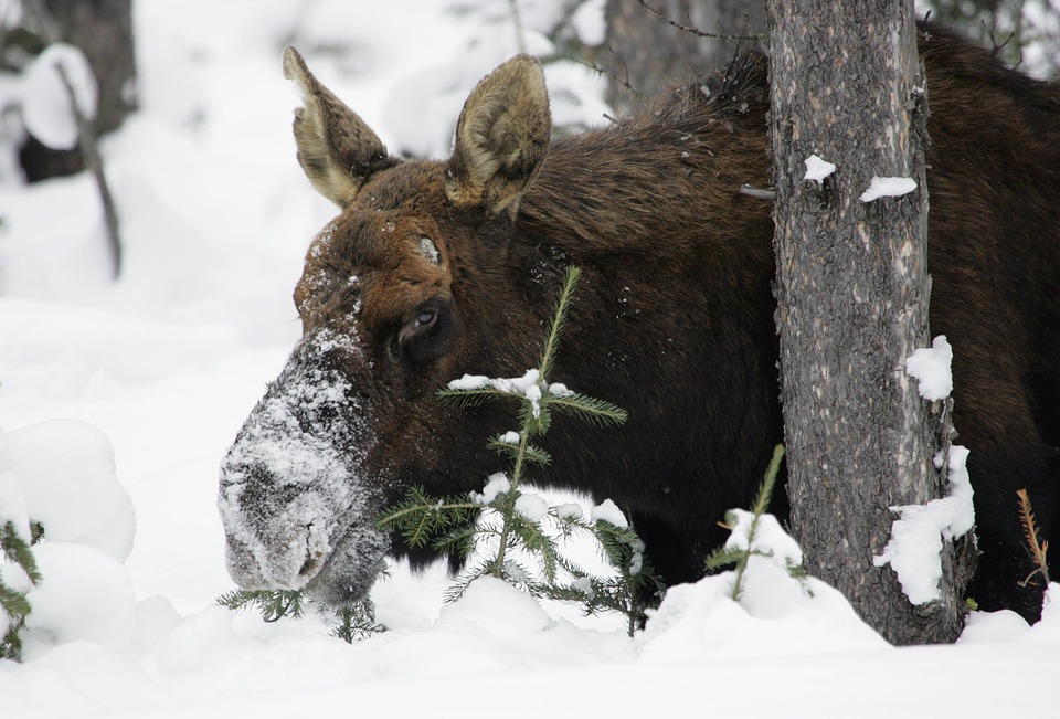 Long Winter Making for Cranky Alaska Moose