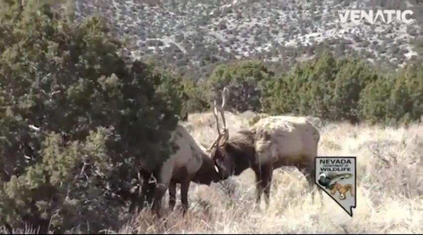 Nevada Fish Biologist Uses Shotgun to Save Two Bull Elk