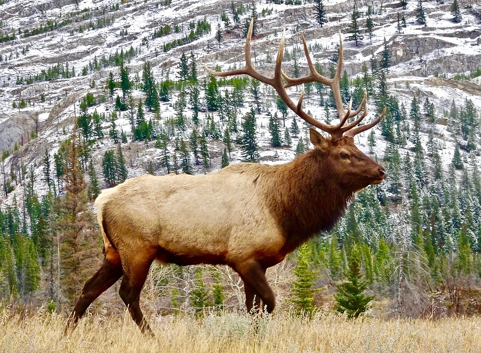 Wyoming Elk Captured for Brucellosis Study Test Negative for Disease