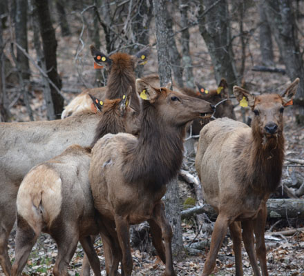 Wisconsin Welcomes 28 Additional Kentucky Elk