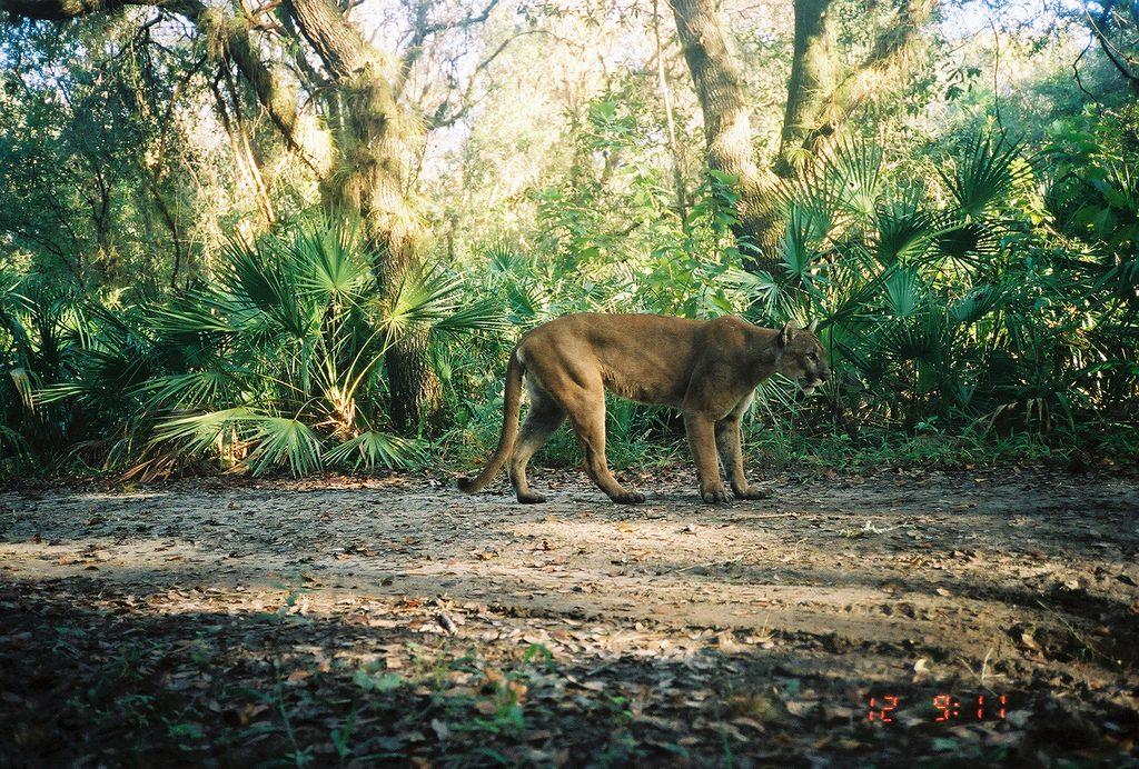 florida-panther-on-camera
