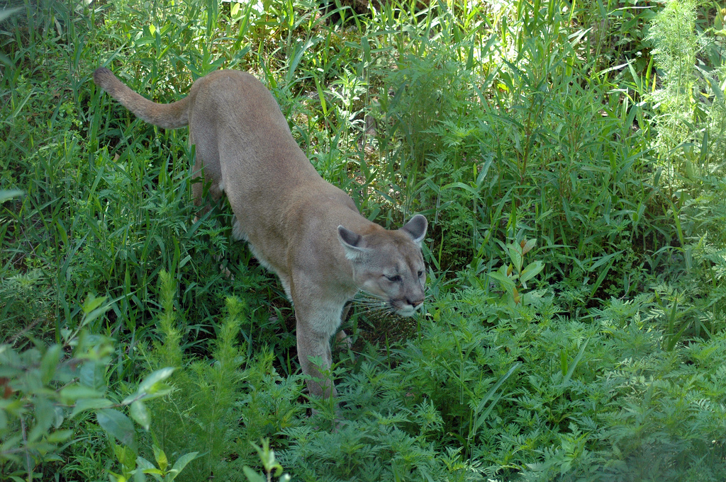 The Resurgence of the Florida Panther