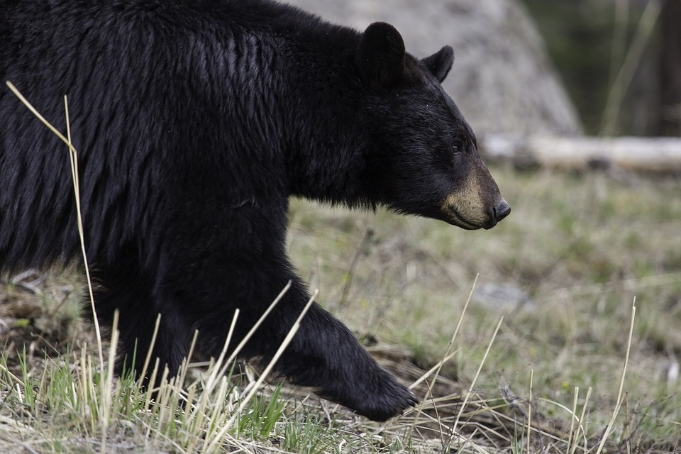 Michigan Bans Chocolate for Bear Baiting, Increases Lower Peninsula License Quotas