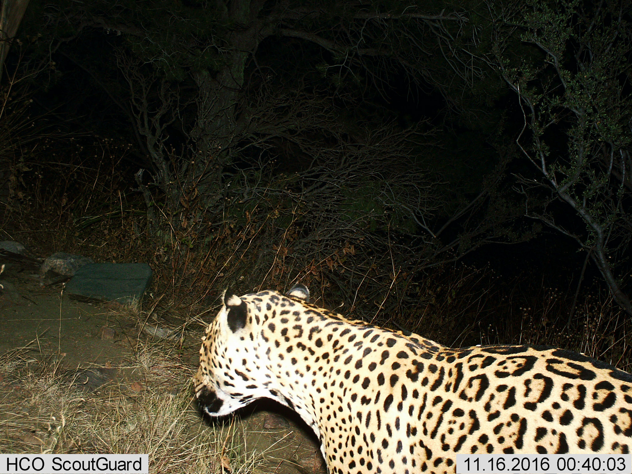 Third Jaguar Captured on Arizona Trail Cam Since 2012