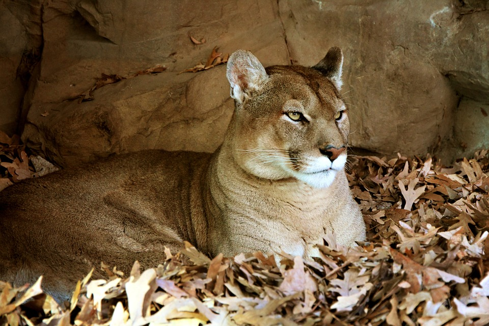 NorCal Hunter Attacked by Mountain Lion While Coyote Hunting