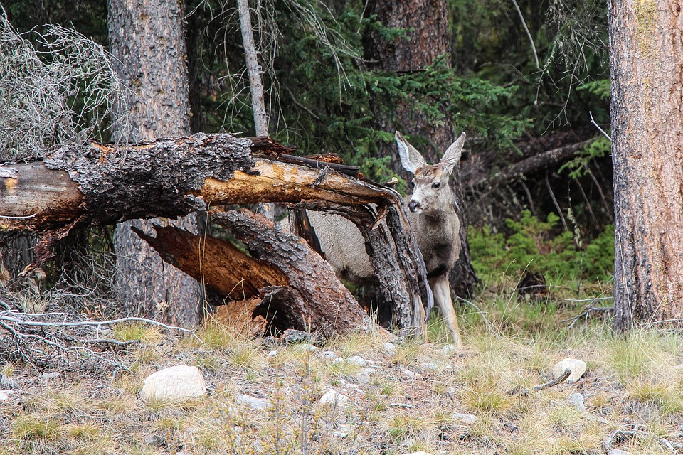 Mule Deer Fawns in Wyoming Range Study Area Nearly Wiped Out