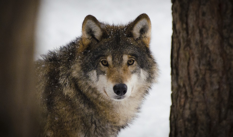 First Confirmed Wolf Sighting in Nevada in Nearly 100 Years