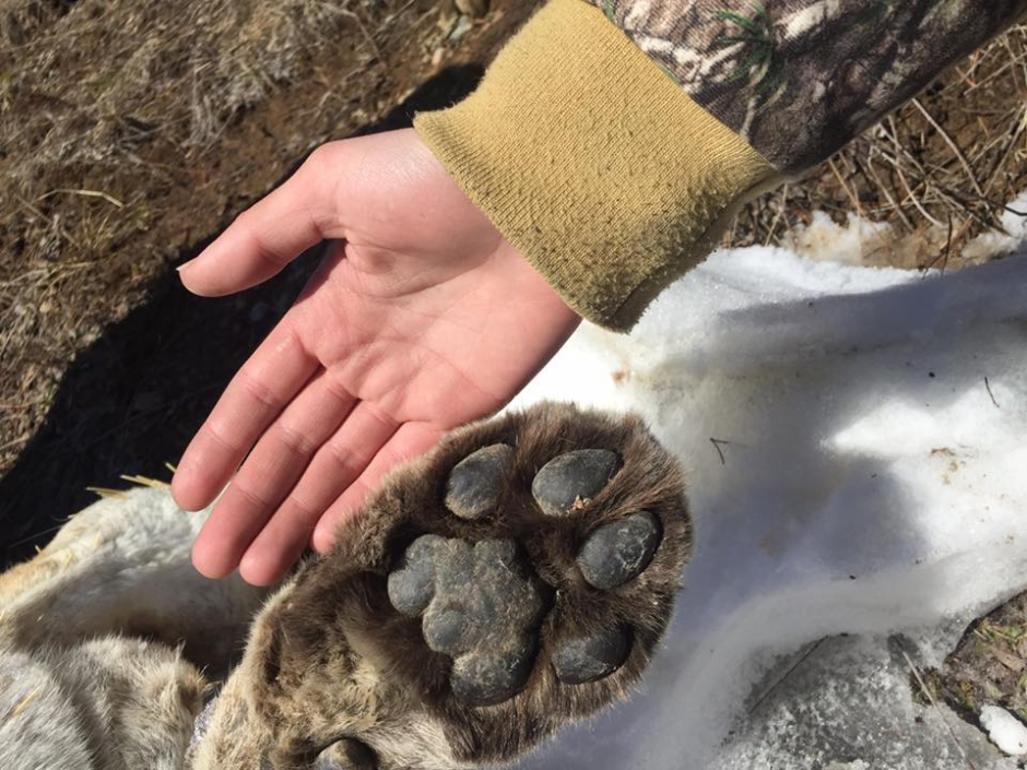 paw-of-dead-cougar-march-25-2017