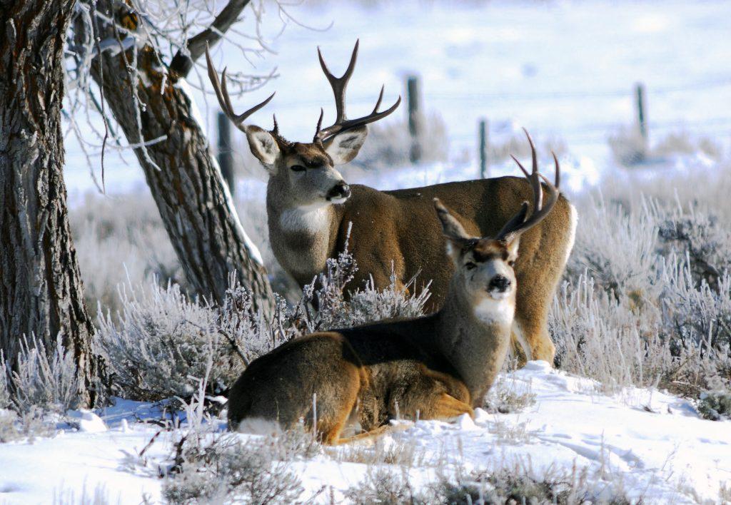 mule-deer-bucks-in-the-snow