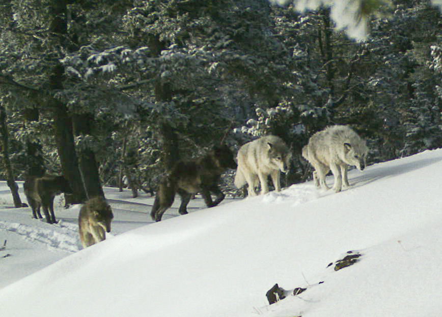 Oregon's Wolf Population Continues to Flourish