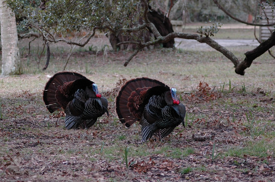 Missouri Forecasts Good Spring Turkey Season for Hunters