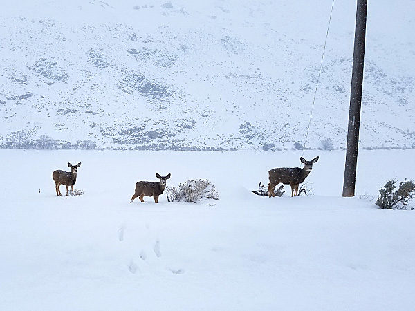 Harsh Winter Prompts Deep Cuts to Eastern Oregon Deer Tags