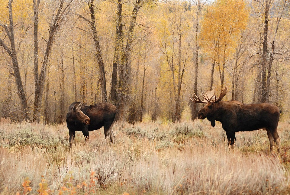 Cutting Ontario Moose Tags Will Not Solve Declining Populations