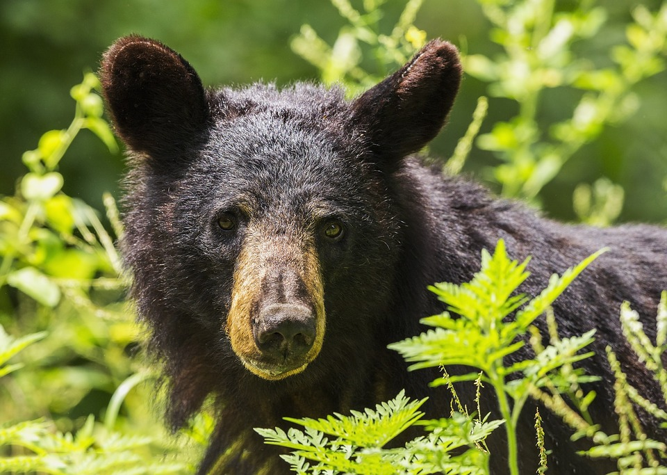 Florida Legislation Aims to Place a 10-Year Ban on Bear Hunting