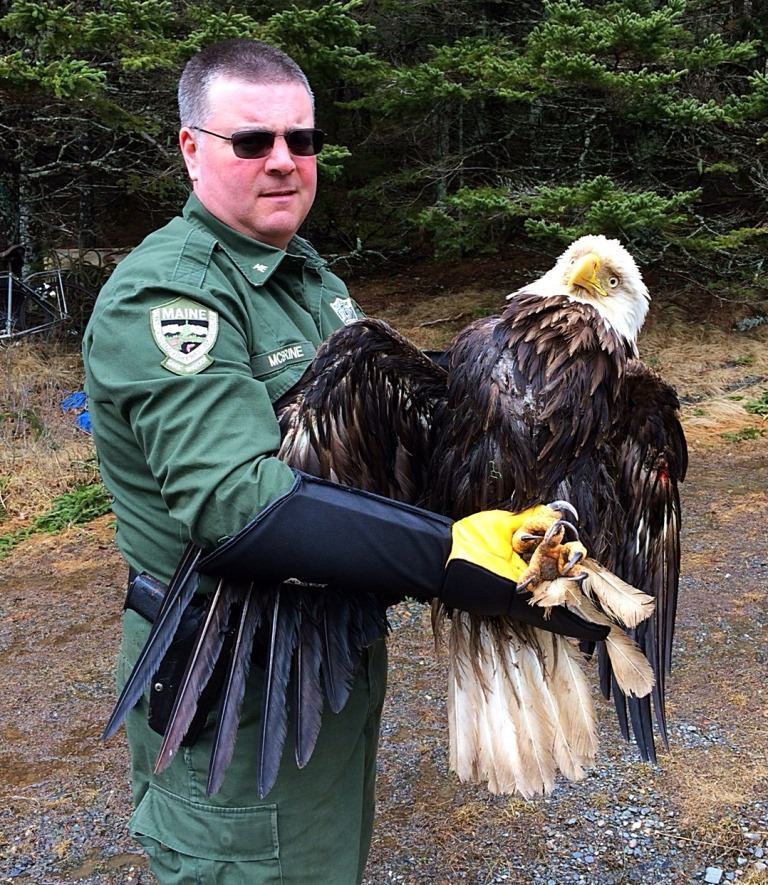 Maine Game Warden Rescues 34-Year-Old Eagle