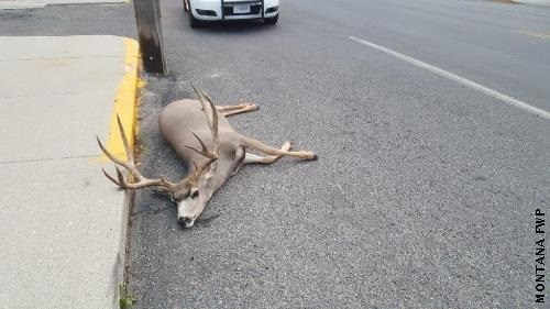 Butte Man Charged with Shooting Trophy Mule Deer in Downtown Butte