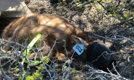 California Elk Calf Collaring Project Kicks Off