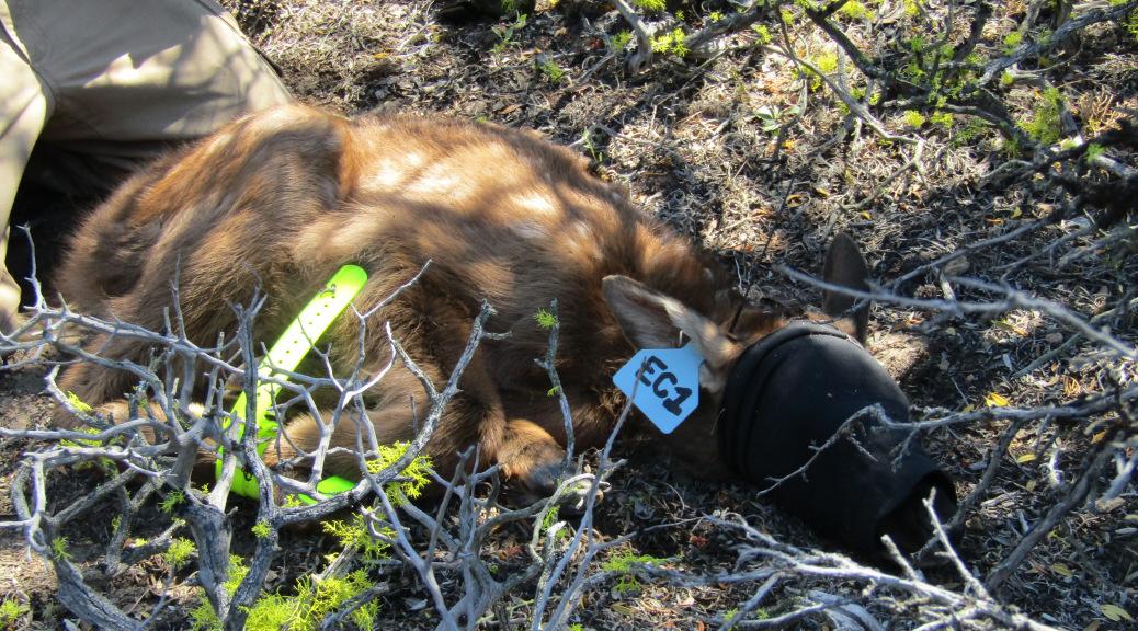 California Elk Calf Collaring Project Kicks Off