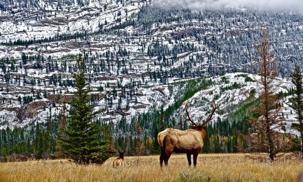 Elk Habitat Conserved in Washington's Lewis River Watershed