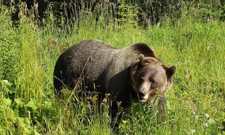 U.S. Fish and Wildlife Service Investigating Grizzly Bear Killing
