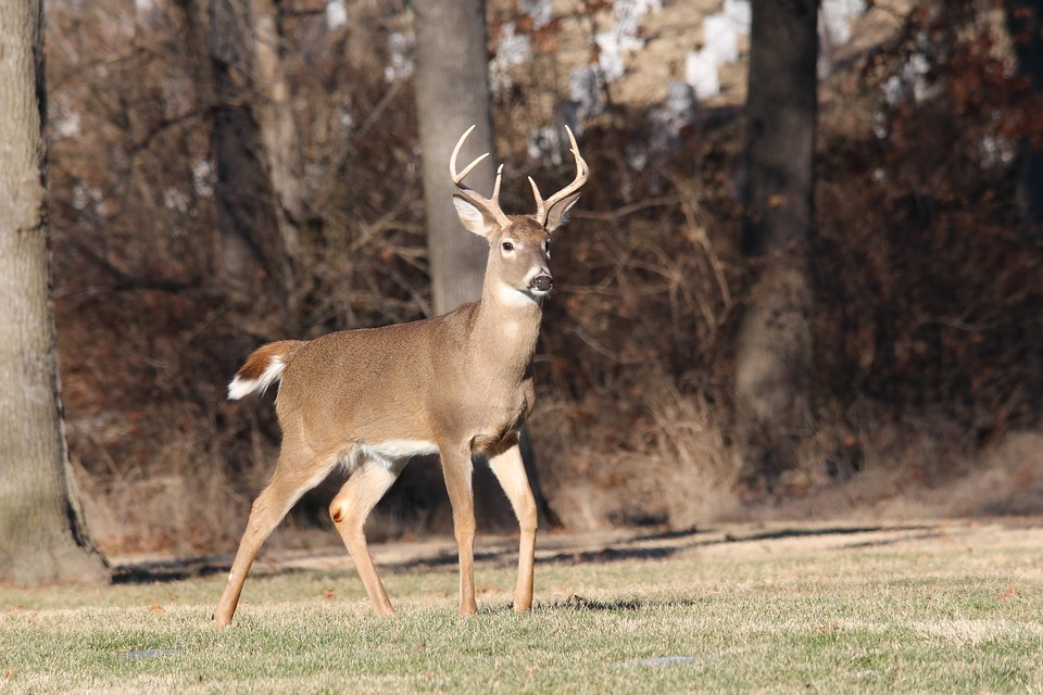 No Sign of Chronic Wasting in New Hampshire Whitetails