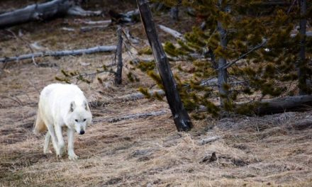 $10K in Rewards for Info on Illegal Killing of Rare White Yellowstone Wolf