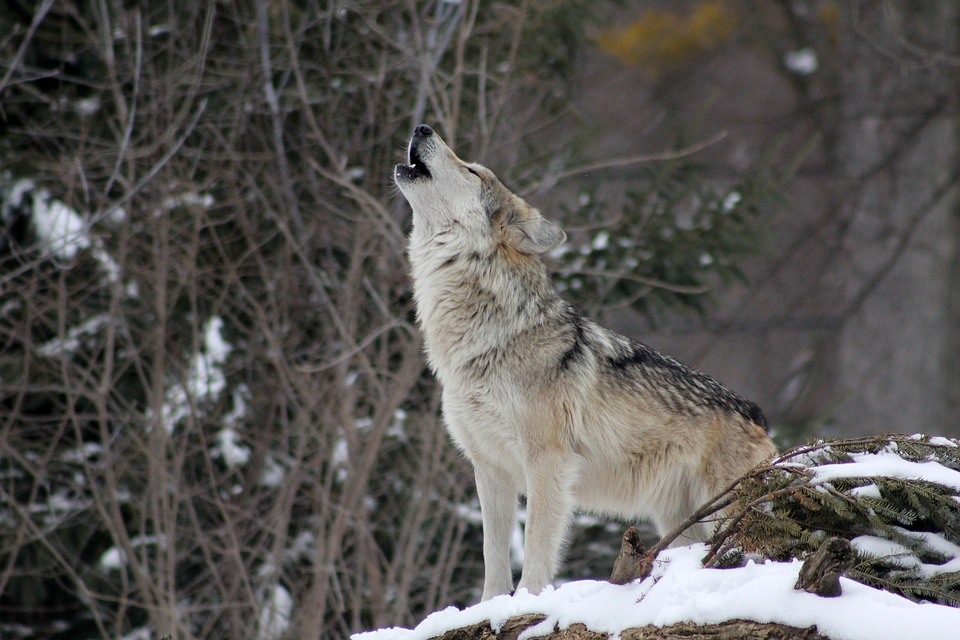 Wolves Returned to State Management in Wyoming