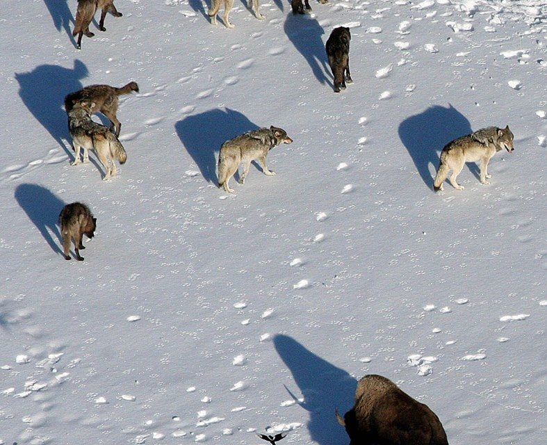 Study Indicates Wolves Do Not Necessarily 'Prey Switch' to Stabilize Prey Populations