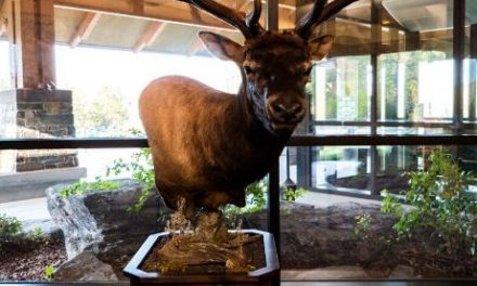 Montana World Record Elk Goes on Display