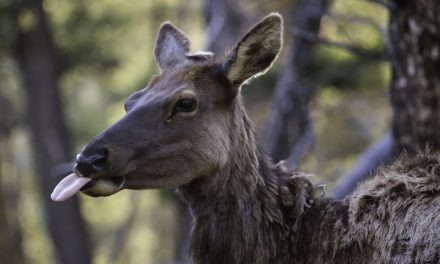 Study Reveals How Female Elk Get Better at Avoiding Hunters as They Age