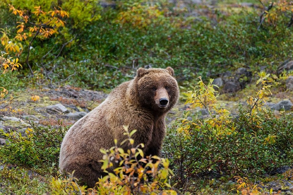A Conservation Milestone:  Yellowstone Grizzlies Removed from Endangered Species List