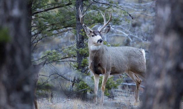 17-Year Study Highlights Mule Deer Aversion to Energy Development