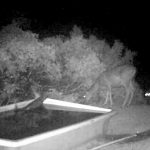 California Trail Cam Captures a Mountain Lion Stalking, Taking Down Deer