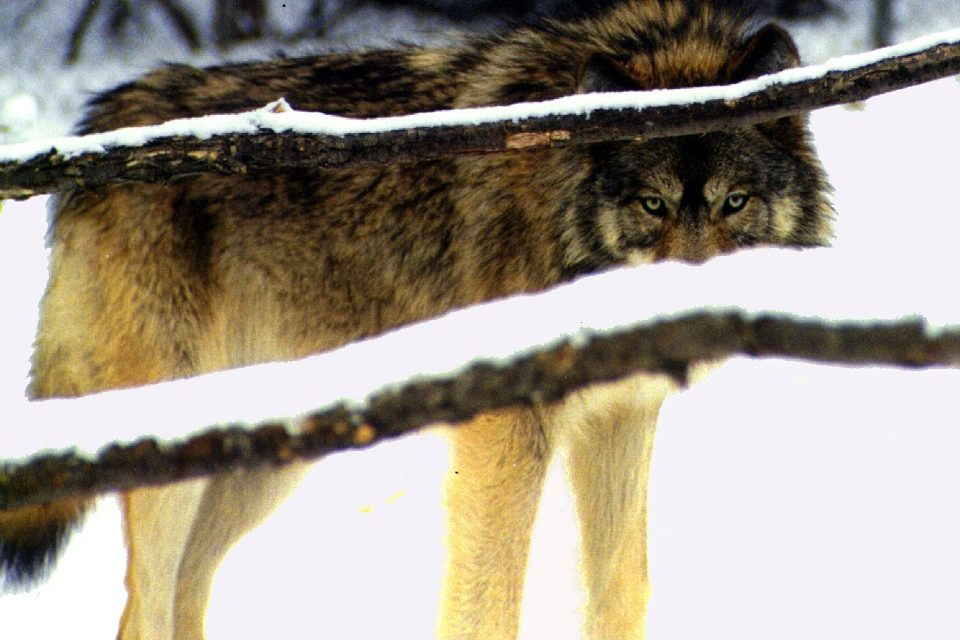 Wisconsin's Wolf Population Continues to Grow, Payouts for Hunting Dog Deaths Shatter Records