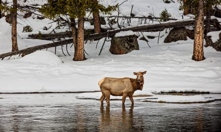 Study Points to Elk as More Significant Brucellosis Transmission Risk than Bison