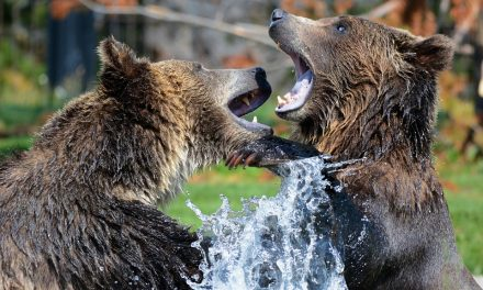 Northern B.C. Family Fights Off Pair of Grizzlies