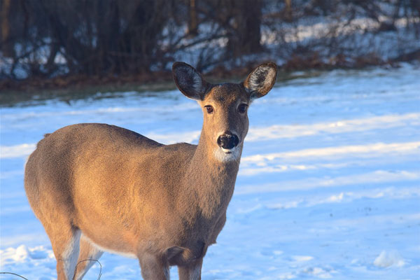 Ann Arbor Quietly Approves $481k to Continue Deer Management