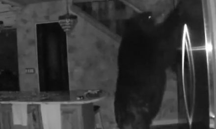 Watch:  Black Bear Breaks into Home, Raids the Fridge