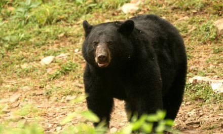 Black Bear Responsible For Entering Home Near Tetonia Euthanized