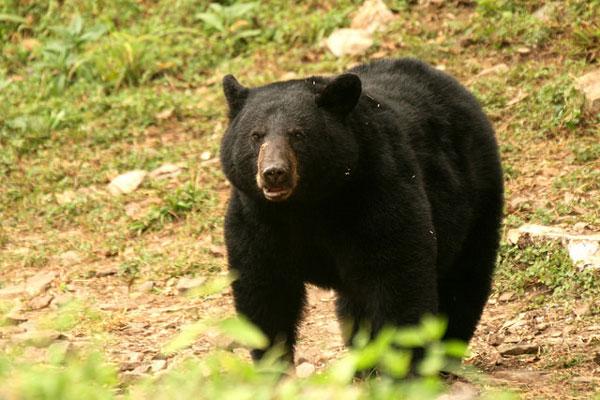 Black Bear Responsible For Entering Home Near Tetonia Euthanized
